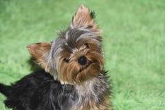 Retrato do cão de cachorrinho do yorkshire terrier fotografia de stock royalty free