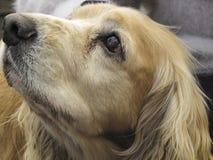Retrato do cão de cocker spaniel fotos de stock