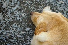 Retrato do cão de Labrador imagens de stock royalty free