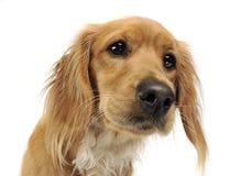 Retrato do cão de Mixedbreed no fundo branco Foto de Stock