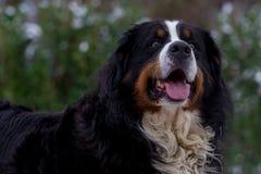 Retrato do cão de montanha de Bernese Fotos de Stock
