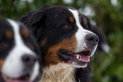 Retrato do cão de montanha de Bernese Foto de Stock