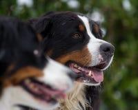 Retrato do cão de montanha de Bernese Foto de Stock Royalty Free