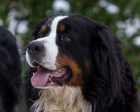 Retrato do cão de montanha de Bernese Fotografia de Stock Royalty Free