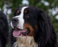 Retrato do cão de montanha de Bernese Fotografia de Stock Royalty Free