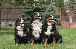 Retrato do cão de montanha de três Bernese Imagem de Stock Royalty Free