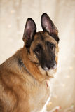 Retrato do cão de pastor alemão Imagem de Stock Royalty Free