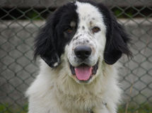 Retrato do cão de pastor de Bucovina Imagens de Stock Royalty Free