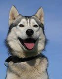 Retrato do cão de puxar trenós Fotografia de Stock