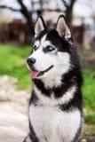Retrato do cão de puxar trenós Fotos de Stock Royalty Free