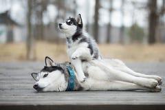 Retrato do cão de puxar trenós fêmea com cachorrinho Imagem de Stock