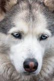 Retrato do cão de puxar trenós Siberian Imagem de Stock