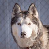 Retrato do cão de puxar trenós Siberian Fotografia de Stock Royalty Free