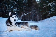 Retrato do cão do cão de puxar trenós siberian da perplexidade que encontra-se na neve na floresta do inverno para o projeto do e Foto de Stock Royalty Free