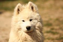 Retrato do cão de Samojed fotografia de stock