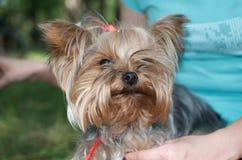 Retrato do cão de yorkshire com cabelo justo fotografia de stock royalty free