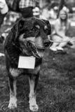 Retrato do cão do abrigo Imagens de Stock Royalty Free