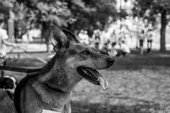 Retrato do cão do abrigo Foto de Stock Royalty Free