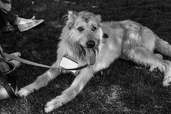 Retrato do cão do abrigo Fotos de Stock Royalty Free