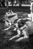Retrato do cão do abrigo Fotografia de Stock