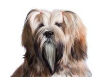 Retrato do cão do apso de lhasa Fotos de Stock Royalty Free