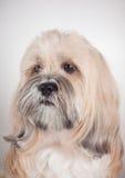 Retrato do cão do apso de lhasa fotografia de stock royalty free