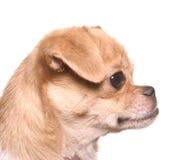Retrato do cão do divertimento imagens de stock royalty free