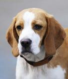 Retrato do cão do lebreiro foto de stock