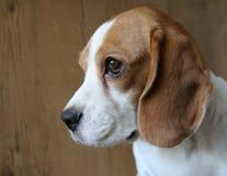 Retrato do cão do lebreiro Imagens de Stock Royalty Free