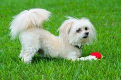 Retrato do cão do maltipoo que joga com bola Imagem de Stock