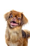 Retrato do cão do pequinês Imagem de Stock Royalty Free