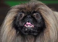 Retrato do cão do pequinês Fotos de Stock Royalty Free