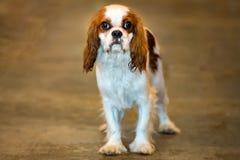Retrato do cão do rei dos cavaleiros que olha o Fotos de Stock Royalty Free