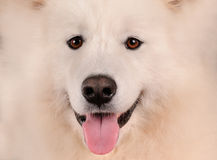 Retrato do cão do Samoyed Fotografia de Stock