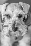 Retrato do cão do Schnauzer imagem de stock royalty free