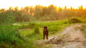 Retrato do cão feliz do híbrido que anda no campo verde ensolarado Fundo verde das árvores fotos de stock