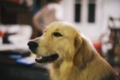 Retrato do cão do golden retriever em casa imagem de stock royalty free