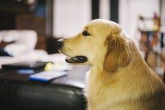 Retrato do cão do golden retriever em casa imagem de stock