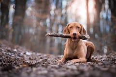 Retrato do cão húngaro do ponteiro do vizsla no por do sol da noite Fotografia de Stock Royalty Free