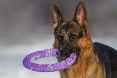 Retrato do cão na neve Fotografia de Stock