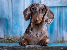 retrato do cão no fundo azul Foto de Stock