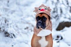Retrato do cão no traje dos cervos contra o fundo de árvores de Natal Fotos de Stock Royalty Free