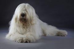 Retrato do cão pastor do russo Fotografia de Stock Royalty Free