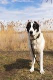 Retrato do cão-pastor grande Imagens de Stock