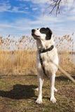 Retrato do cão-pastor grande Imagem de Stock