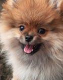 Retrato do cão pomeranian bonito Imagem de Stock Royalty Free