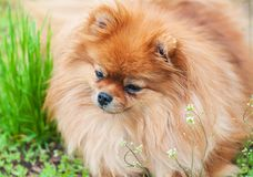 Retrato do cão pomeranian bonito Foto de Stock