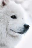 Retrato do cão samoed o inverno Fotos de Stock