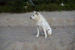 Retrato do cão tailandês na praia Imagens de Stock