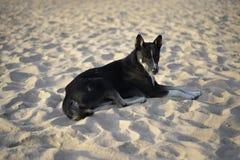 Retrato do cão tailandês na praia Imagens de Stock Royalty Free